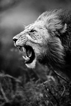 """The roaring of the lion, and the voice of the fierce lion, and the teeth of the young lions, are broken."" Job 4:10"