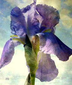 ❥ Bearded Iris