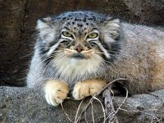 Otocolobus manul or Pallas Cat -- Never trust on a soft and quiet appearance