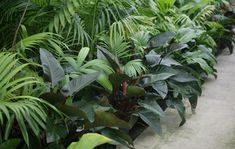 Image result for philodendron rojo congo