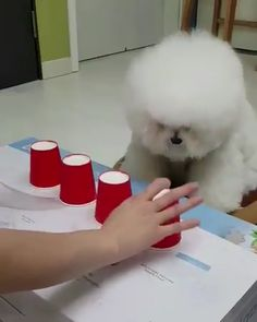 This little pupper ALWAYS picks the right cup! - Pet Fashion clothes for dogs and cats Ideas from Professionals Funny Dog Videos, Funny Animal Memes, Cute Funny Animals, Funny Animal Pictures, Cute Baby Animals, Animals And Pets, Animal Antics, Cute Animal Videos, Tier Fotos