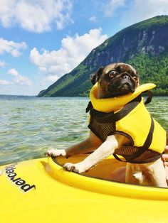 The Explorer, most likely the first pug in a boat. He was brave, he was terrified, he was pug.