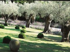 Olive trees at an ancient Basque country house.  Quand les oliviers rêvent de beaux jours (cotemaison.fr)