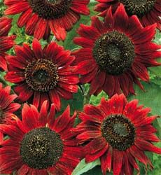 Red Sun Sunflowers