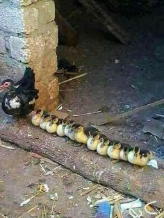 Got Your Ducks in a Row.mama duck is either ru ning a duckie daycare or a sweet orphanage Cute Baby Animals, Farm Animals, Animals And Pets, Funny Animals, Funny Animal Pictures, Cute Pictures, Beautiful Birds, Animals Beautiful, Tier Fotos