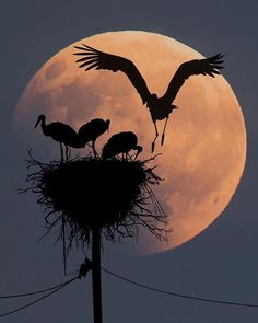sunset and birds Silhouette Photography, Moon Photography, Beautiful Moon, Beautiful Birds, Shoot The Moon, Silhouette Painting, Photo Portrait, Moon Pictures, Moon Painting