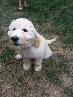 Dont Know What Everyone Is Talking About Cody Goldendoodle
