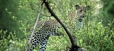 Spectacular wildlife sightings at Singita Sweni Lodge