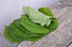 Frunze de vita de vie la borcan sau congelator (la lada) - foi de vita pentru iarna | Savori Urbane Plant Leaves, Urban, Plants, Flora, Plant, Planting
