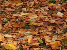 Imagini pentru poze cu frunze de cires