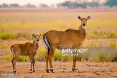 nilgai portrait - Google Search