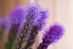 How to Care for Liatris Flowers