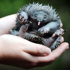 A young, short-beaked Echidna. Echidna's are mammals, but lay eggs. This spiky baby was hatched, not born.