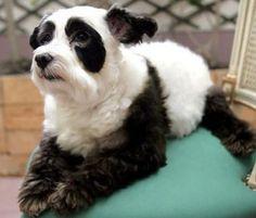 dye your dogs fur? so cruel. yet so damn cute.