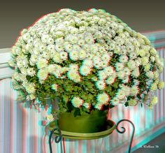 A 3D stereo anaglyph of Mums on a porch in Easton, Maryland.    To view depth, Red/Cyan filtered 3D glasses are required.  Red/Cyan 3D glasses are inexpensive and may easily be obtained online.  I recommend, Rainbow Symphony or American Paper Optics.