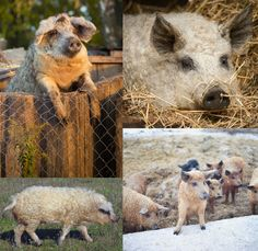 MANGALICA PIGS-While the animal kingdom's most well-known perms are usually accompanied by a 'woof' or a 'baaa,' here are some curly animals that deserve recognition.