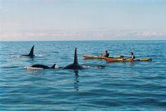 Kayaking with orca, Abel Tasman National Park