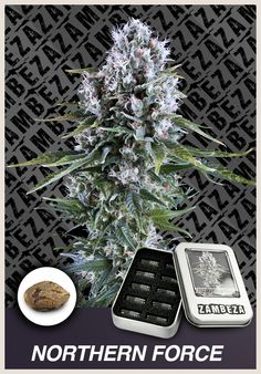 Being one of the most popular strains of cannabis worldwide, Northern Force is a mainly Indica strain that was bred from Afghani genetics in the 1970s, in the United States of America. Northern Force came to Holland in the 1980's. THC: Average High, Genetics: Ruderalis x Northern Light x Power Bud, Yield: Extra Extra Large, Height: 90-120 cm, Effect: Relaxed and full of flavor, CBD: Average High, Flowering time: 9-10 weeks. http://www.zambeza.com/87-northern-force.html