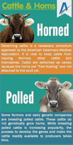 Myth: Dehorning cattle is an unnecessary procedure.  Fact: Dehorning cattle is a necessary procedure approved by the American Veterinary Medical Association. It is vital to keep cattle from injuring farmers, other cattle and themselves. #MythBustinMonday