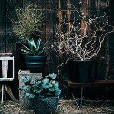 Corylus avellana 'Contorta', 'Little Prince' Corokia cotoneaster,  'Blue Glow' agave, and a Heuchera 'Plum Pudding'