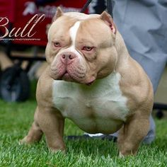 #americanbully Photo Credit to http://ift.tt/24GuHxX