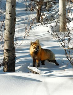 Curious Fox by Todd Klassy, via Flickr