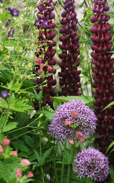 English Garden Flowers- Arne Maynard Garden Design - stunning lupine coloration