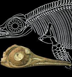 Ichthyosaur courtesy of Bristol University