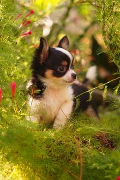 Cute Chihuahua puppy  | dogs | | puppy | | pets | #puppy  #pets   https://biopop.com/