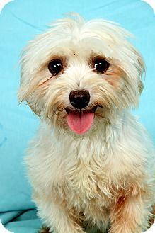 St. Louis, MO - Havanese. Meet Ali Havanese, a dog for adoption. http://www.adoptapet.com/pet/16184731-st-louis-missouri-havanese