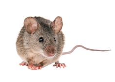 Vous avez entendu de petits grattements, ces petits résidus sur le sol ne mentent pas : les souris ont envahi votre habitation ! Ces rongeurs se fichent de ne pas être les bienvenus chez vous. Si vous avez la moindre miette de nourriture sur le sol, elles prendront cela pour une cordiale invitation. Et pas si simple de s'en débarrasser car elles sont connues pour se reproduire rapidement.