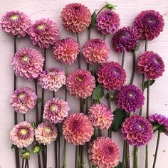 Dahlias Bracken Rose, Snoho Jojo, Isabel – Famous Last Words Dahlia Bouquet, Dahlia Flower, Purple Dahlia, Rare Flowers, Beautiful Flowers, Pink Flowers, Ikebana, Dahlia Care, Cut Flower Garden