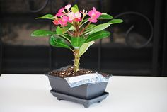 Live Red Crown of Thorns Bonsai  Euphorbia Splendens  by 9GreenBox, $14.99