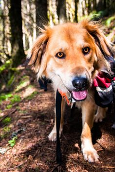 How to Choose a Good Hiking Dog -- via wikiHow.com