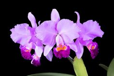Cattleya trianae 'Mary Fenell' by © Sociedad Colombiana, Growing : Orquifollajes