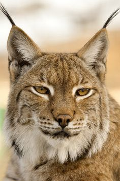 Ideas For Nature Tattoo Small Big Cats Cat Bobcat, Serval Cats, Bobcat Pictures, Animal Pictures, Beautiful Cats, Animals Beautiful, Lynx Du Canada, Lynx Boréal, Homemade Home Decor