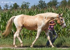 Rex's New Taste of Dallas, a Missouri Foxtrotter mare, in an unusual combination of palomino tobiano with reverse dapple roaning.