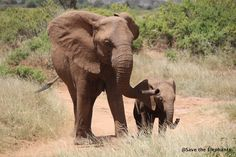Mom gently leading the way for her calf. Help Save the Elephants.