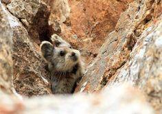 Ancak o zamandan günümüze nüfuslarında p'lik bir düşüş gerçekleşti. Bilim insanları tavşan familyasından geldiği bilinen ve bilimsel adı Ochotona iliensis olan yaratıklar hakkında henüz çok az bilgiye sahip.