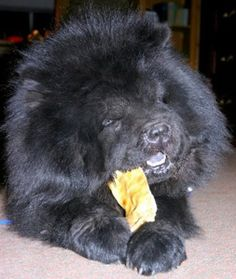 Notice Blue tongue?: Male Registered Chow Chow