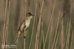 Birding stories: birdwatching and photography trips: Paddyfield Warbler photography in Bulgaria