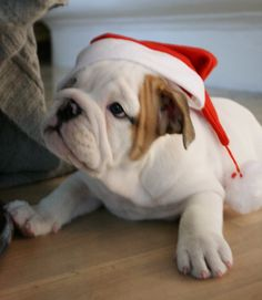 Dexter last Christmas - English bulldog puppy @dexandco