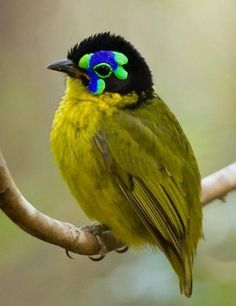 The Schlegel's asity (Philepitta schlegeli) is a species of bird in the Philepittidae family. It is endemic to Madagascar.