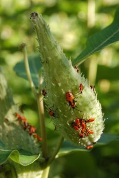 The large milkweed bugs in the National Museum of Natural History Butterfly Habitat Garden are chowing down on our milkweed seed pods.