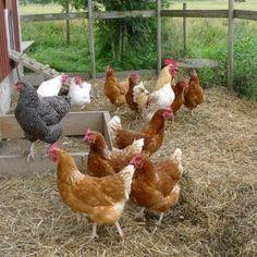 chickens, chickens