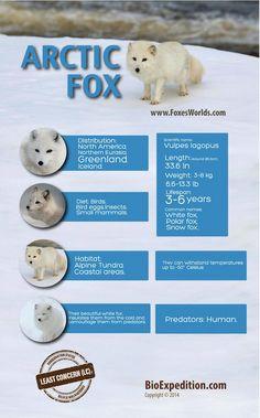 Arctic Fox infographic