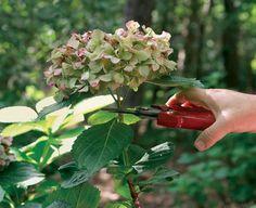 真夏の晴天続きの日か、秋に入る前の乾燥が続く時期を選びましょう。  アジサイの茎に水分が少ないため乾燥に手間と時間がかかりません。