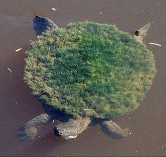 Animals on A Mary River turtle with algae growing on its shell.A Mary River turtle with algae growing on its shell. Lion Turtle, Turtle Love, Green Turtle, Animals And Pets, Funny Animals, Cute Animals, Strange Animals, Wild Animals, Beautiful Creatures