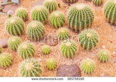 Cactus in desert garden, Thailand - stock photo