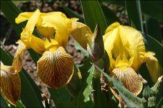 Honorabile Iris